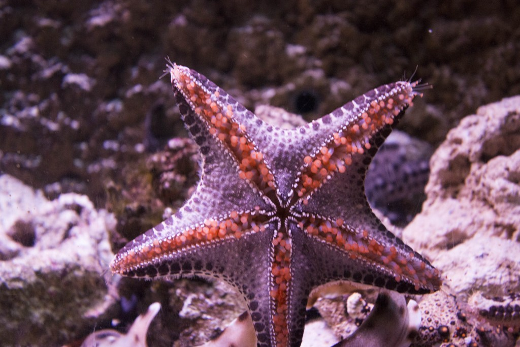 star fish 1